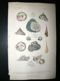 Cuvier C1835 Antique Hand Col Print. Shells #19